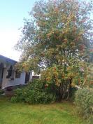 Talon etupuolella kasvaa iso pihlaja ja alppiruusu.