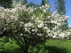 Koristepensaita on tontilla kolme kappaletta. Ne kukkivat toukokuussa kauniisti.