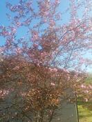 Koristeomenapuu kukkii keväällä.