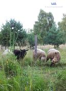 Kesän lempeisiin kävelyretkiin kuuluu saariston lampaiden ruokinta.