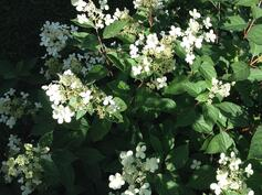 Puutarhassa paljon helppohoitoisia ja kauniisti kukkivia koristepensaita.