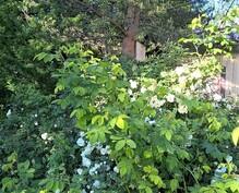 Kukkivat pensaat