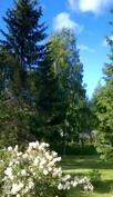 juhannusruusu ja puut