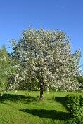 Vanha kaneliomenapuu