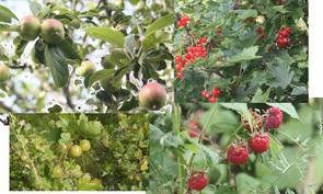 Pihalla marjapensaita ja omenapuita