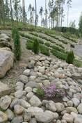 Pihaan rakennettu kiviasetelmia joiden väliin istutettu vuorimäntyjä