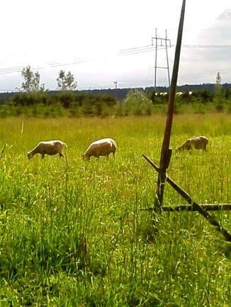 Pellolla on tilaa lampaiden laiduntaa tai hevost...
