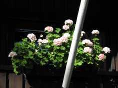 Parvekkeen kukkia