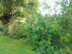 Kesän rehevät pensaat takapihalla.