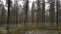 Myynti Ailangan metsätie