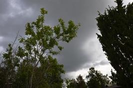 Joko sataisi? luumupuu ja kataja