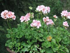 Pihan kesäistä kukkaloistoa