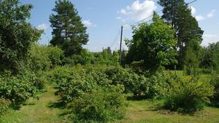 Marjoja,omenia,vadelmaa,luumuja,kirsikoita....