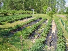 MAnsikat saat omalta maalta, lisäksi paljon herukkapensita,muutama tyrni sekä omenapuu