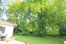 Upeiden, vanhojen puiden suojassa