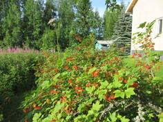... runsaasti marjapensaita ja isohko peltopalsta kasvimaan pohjaksi!