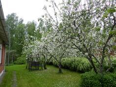 Pihan omenapuut kukassa