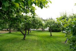 pihapiirin omenapuut