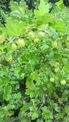 Karviaiset-Grusbär