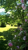 Ruusut kukkivat-Ljuvliga rosor