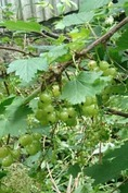 puutarhassa marjapensaita, omenapuita jne