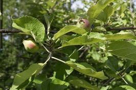 Pihan iso omenapuu.