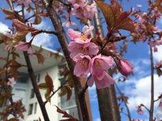 Pian kirsikkapuutkin aloittavat kukinnan