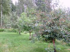 Kirsikka-, luumu- ja omenapuu