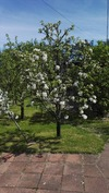 Omenapuu kukassa.