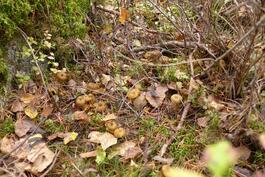 Omalta takapihalta löytyy syksyisin myös sieniaarteita!
