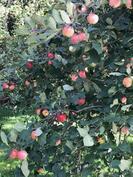 runsasta omenasatoa