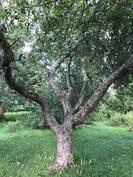 vanha omenapuu - kutsuva kiipeilyyn ja majanrakennukseen