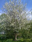 pihapiirin puita