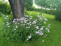 pihapiirin kukkia