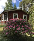 Alppiruusu kukkii - Rhododendronen blommar