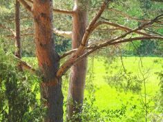 Honkalinnan nimikkopuut