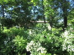 Ja tässä upeaa kesän vihreyttä talon ...