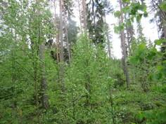 Kiinteistön n. 0,7 ha tontilla myös isohkoa puustoa!