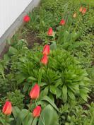 Kevään kukkaloistoa takapihalta