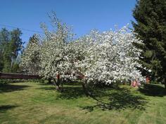 Kauniisti kukkivia omenapuita pihalla
