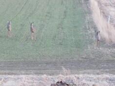 Takapihan pellolla käy usein valkohäntäpeuroja.