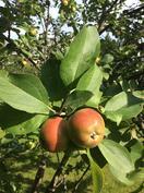 Omenapuusta saa runsaasti makoisia omenoita loppukesällä.