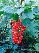 Tontilla on runsassatoisia viinimarjapensaita.
