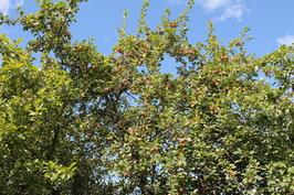Omenapuita 2016