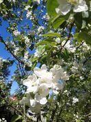 Alkukesän kruunaavat omenapuiden kukat ja syksyllä omenasato.