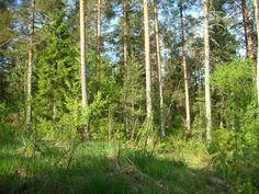 Tontin rajalta (mustikka)metsään.