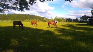 kesälaidunta jossa hevosilla säänsuoja katos