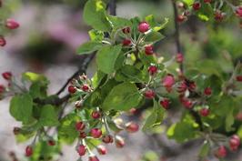 Omenapuun nuppuja