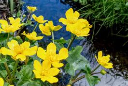 Rentukoita tonttiin kuluvassa purossa keväällä.