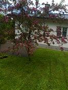 koristepuu